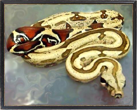 Red Tail Boa Constrictor Red Tail Boa Constrictor