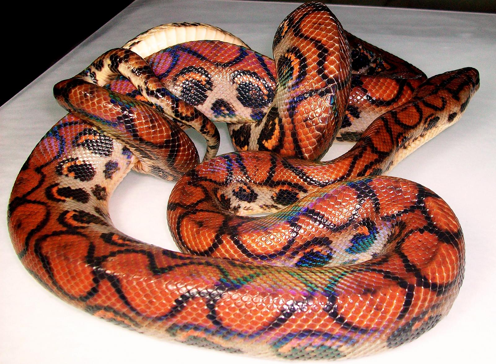 rainbow boa | Creatures great and small | Pinterest