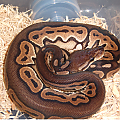 Cinnamon Female