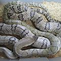 Super Hypo FWCs Breeding 12/13
