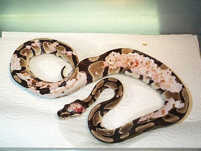 Ball Python I Need Some Help