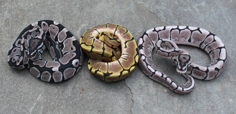 VPI Axanthic Spider, Spiders Het Clown, Pastel Het Clown ...