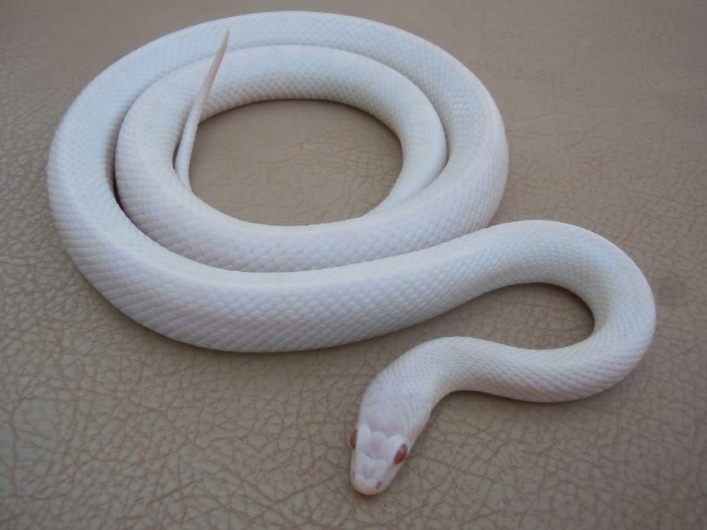 white snakr