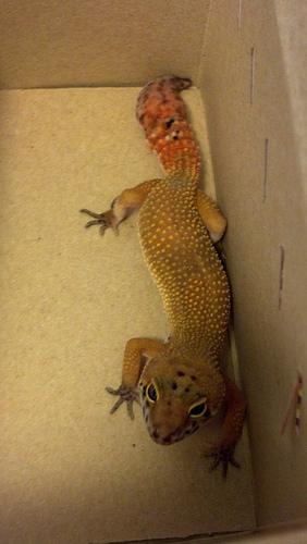 Leopard gecko morph ID please