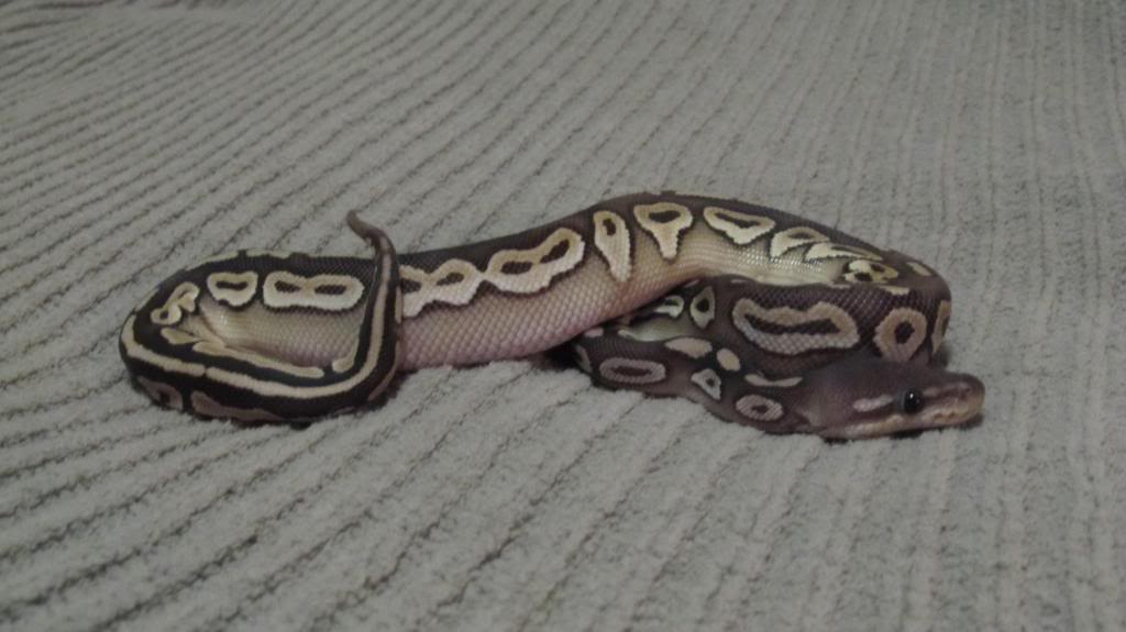 Black pastel Mojave Vanilla!