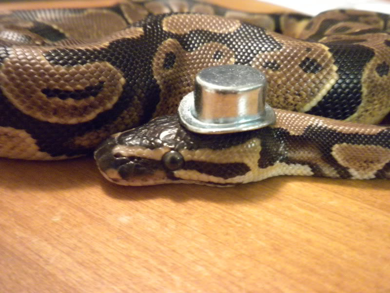*Rate The Ball Python Above You* - Page 3