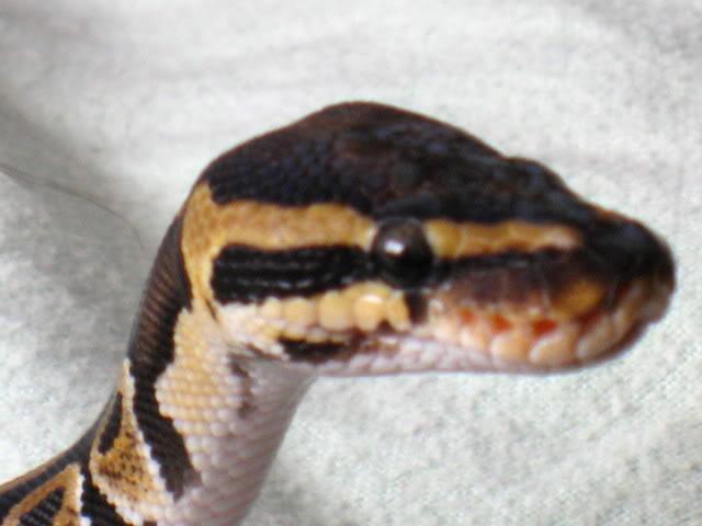 ball python raising head like cobra