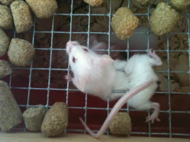 A warning for anyone who house mice in racks   with a pic!