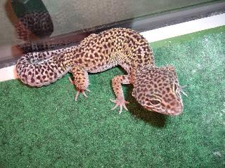 Leopard Gecko Morphs For Trade or Sale