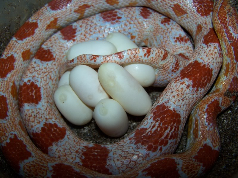1 3 breeder group ,corn snakes for sale or trade