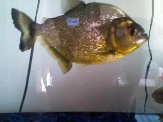 Gold Piranha for sale
