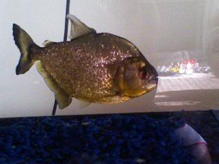 Gold Piranha for sale