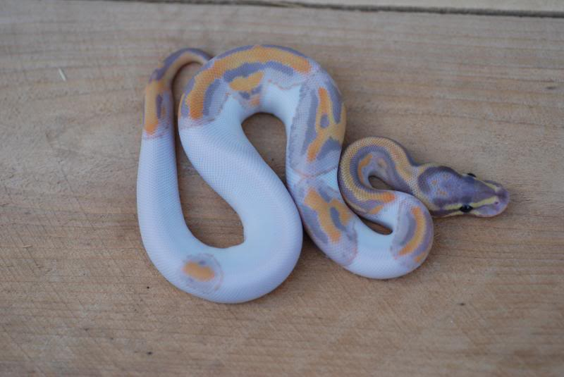 Coral Glow Pied