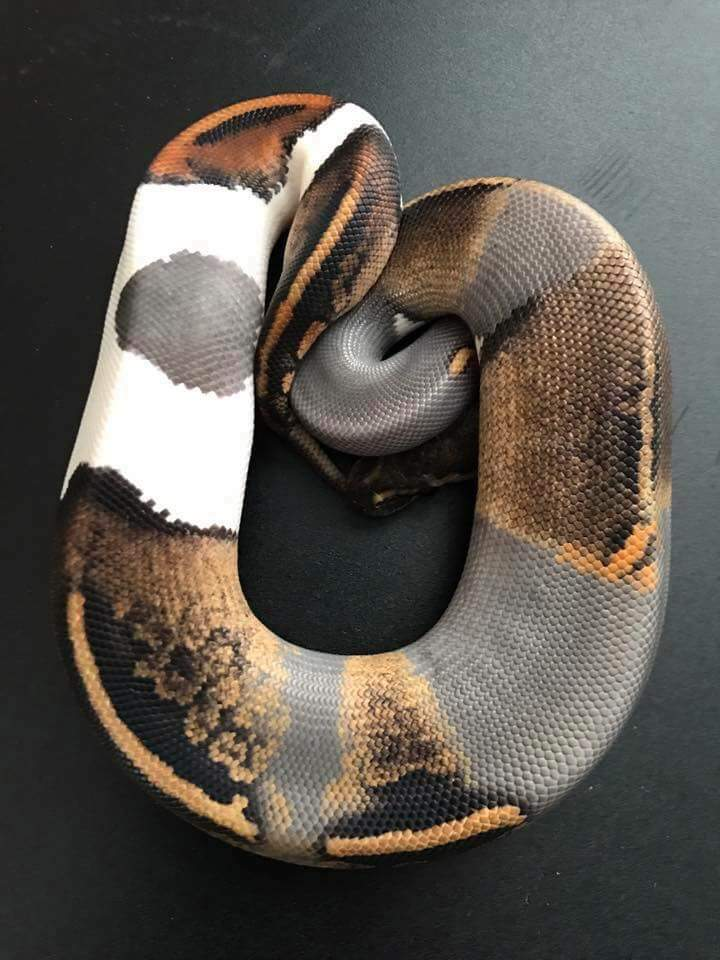 Super Snake 2017 >> Paradoxed Black Pastel Fire Pied