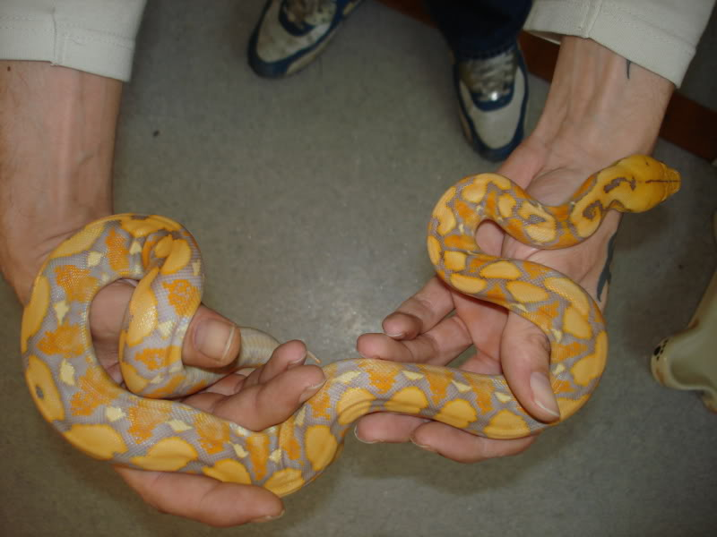 Purple Reticulated Python Morphs