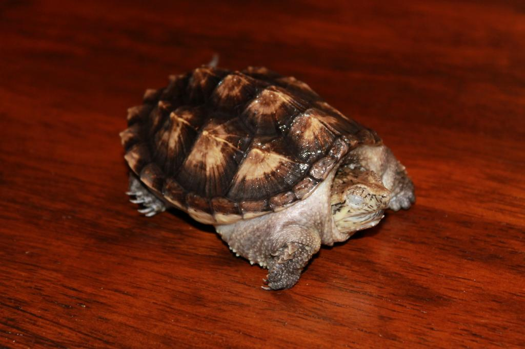 Pastel Snapping Turtle For Sale - PRICE REDUCED