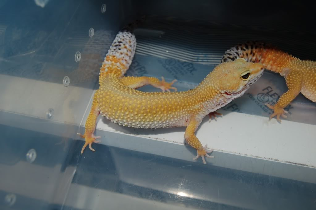 Tang Carrot Tail And Shtctb Leopard Geckos Proven Breeders
