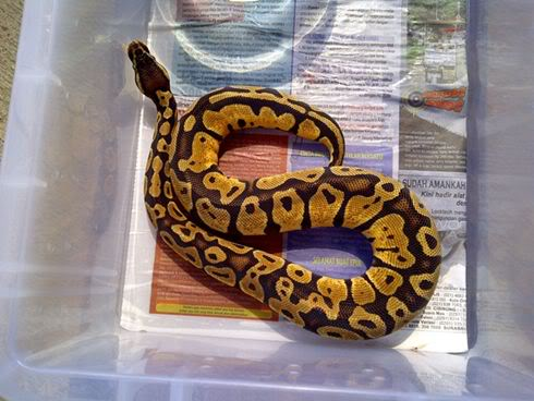 ball python captive breed fresh from indonesian