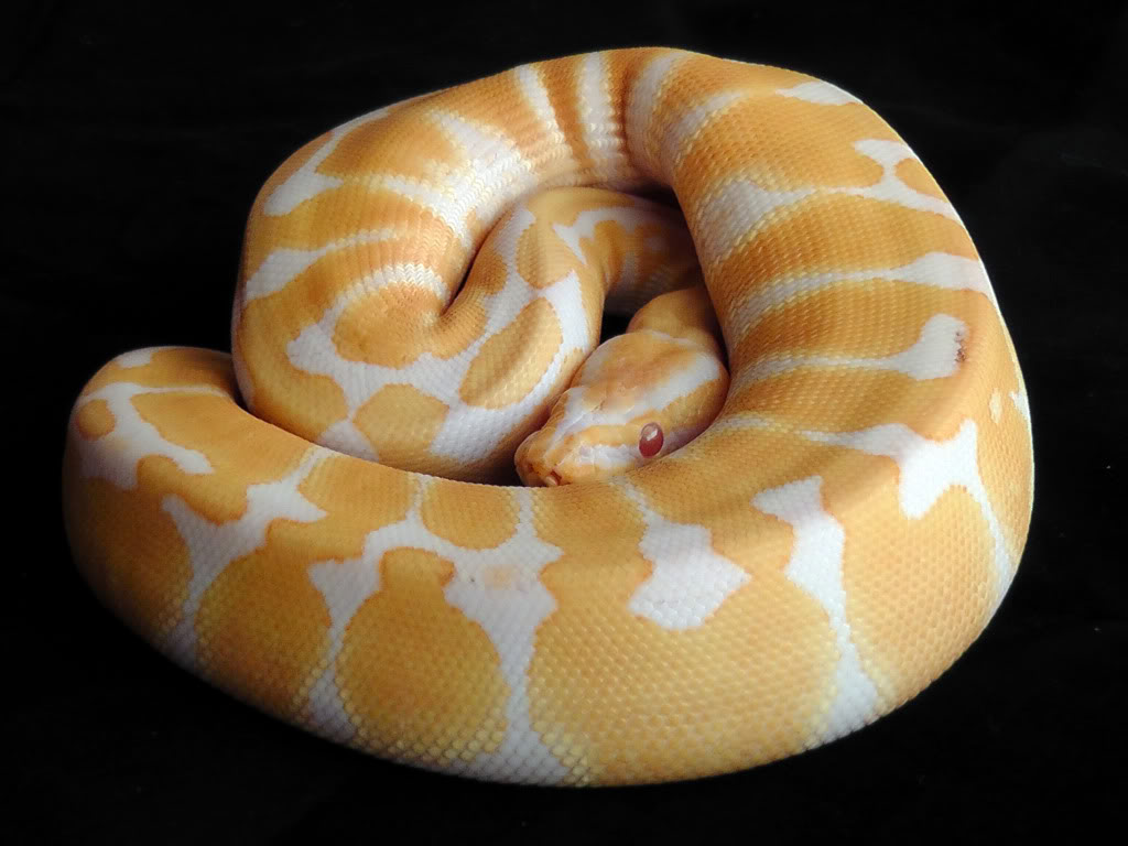 albino black pastel ball python - HD 1024×768