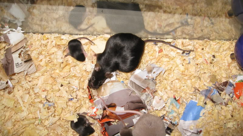 Pictures of pregnant mice 3