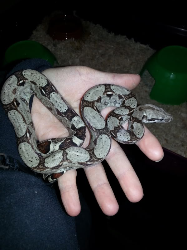 my new red tail boa <3