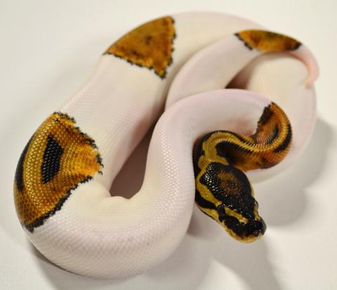 Lesser Bee Ball Python lesserbee, past...