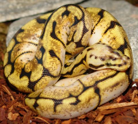 Adult Ball Pythons - SUPER SALE! Males $49, females $69 each!