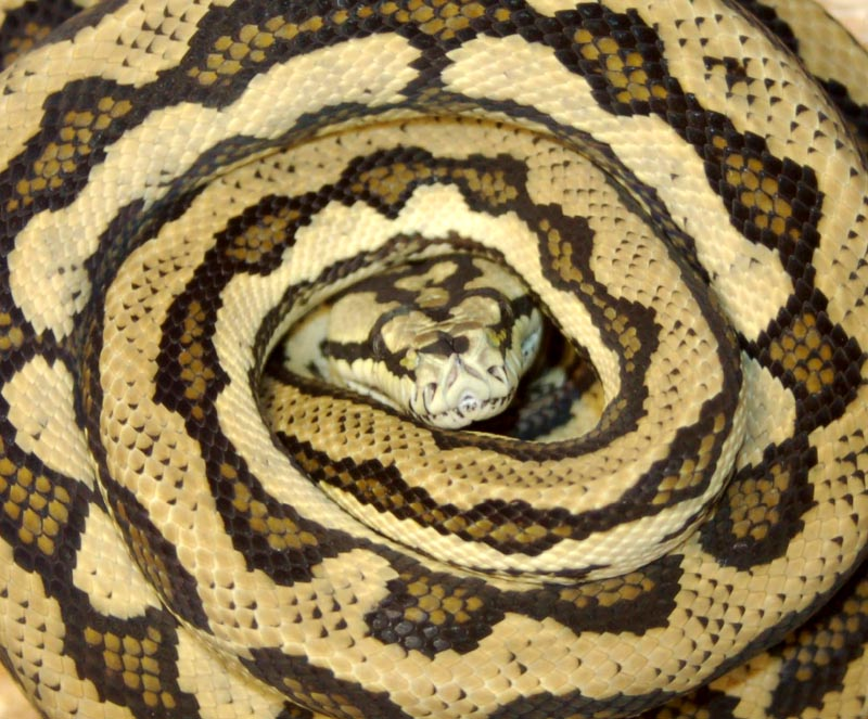 Should i get a male or female ball python-8980