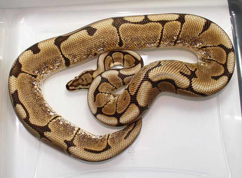Available Ball Pythons Mojave, Spider, Hypo, Woma, Het -4563