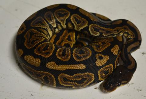 Ball Python Morph SALE - 25 - 50% off all morphs!