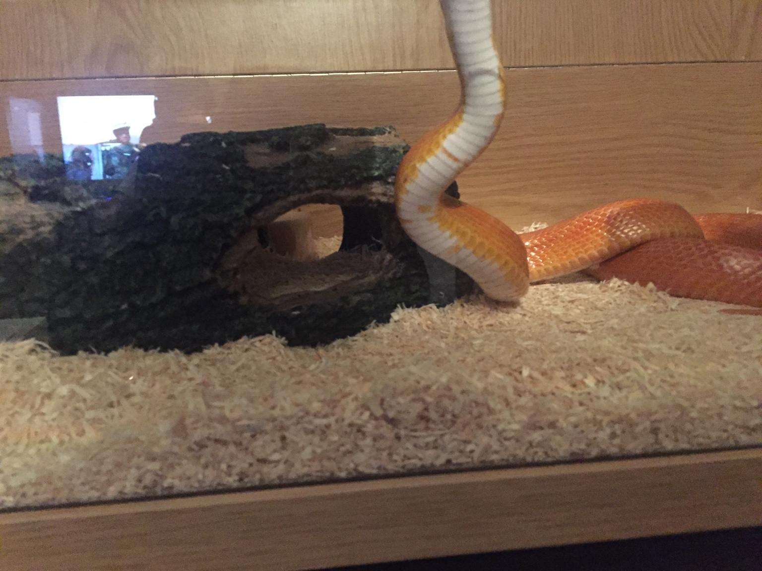what is your favorite corn snake morph? - Page 4