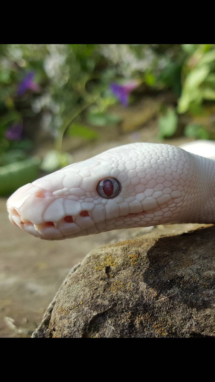 Red Eyed Serpent