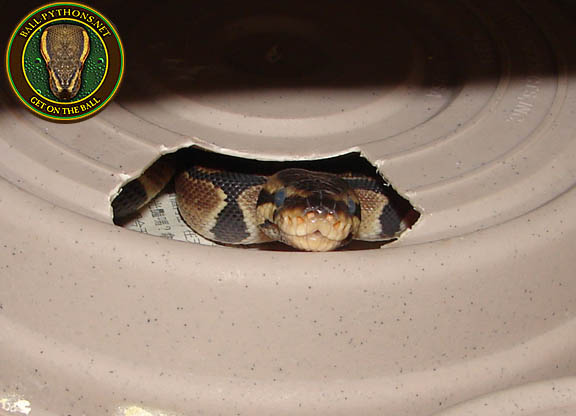 Should i get a male or female ball python-6339