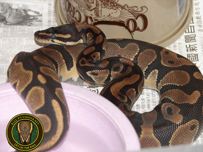 Should i get a male or female ball python-3659