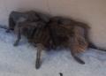 biiiig-spider