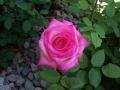 lite-pink-rose