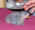nerd-baby-lovebird