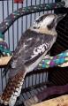 nerd-kookaburra-1