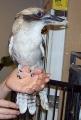 nerd-kookaburra-2