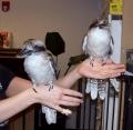nerd-kookaburra-3