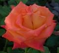 orange-rose-2