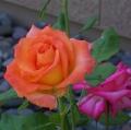 orange-rose-4