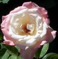 pink-white-rose