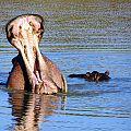 z05-07-hippos
