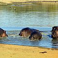 z05-11-hippos