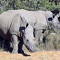 z05-12-rhinos