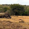 z07-13-rhinos