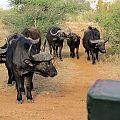 z07-21-buffalo