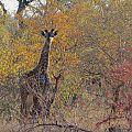 z07-32-cheetah