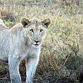 z12-03-lions